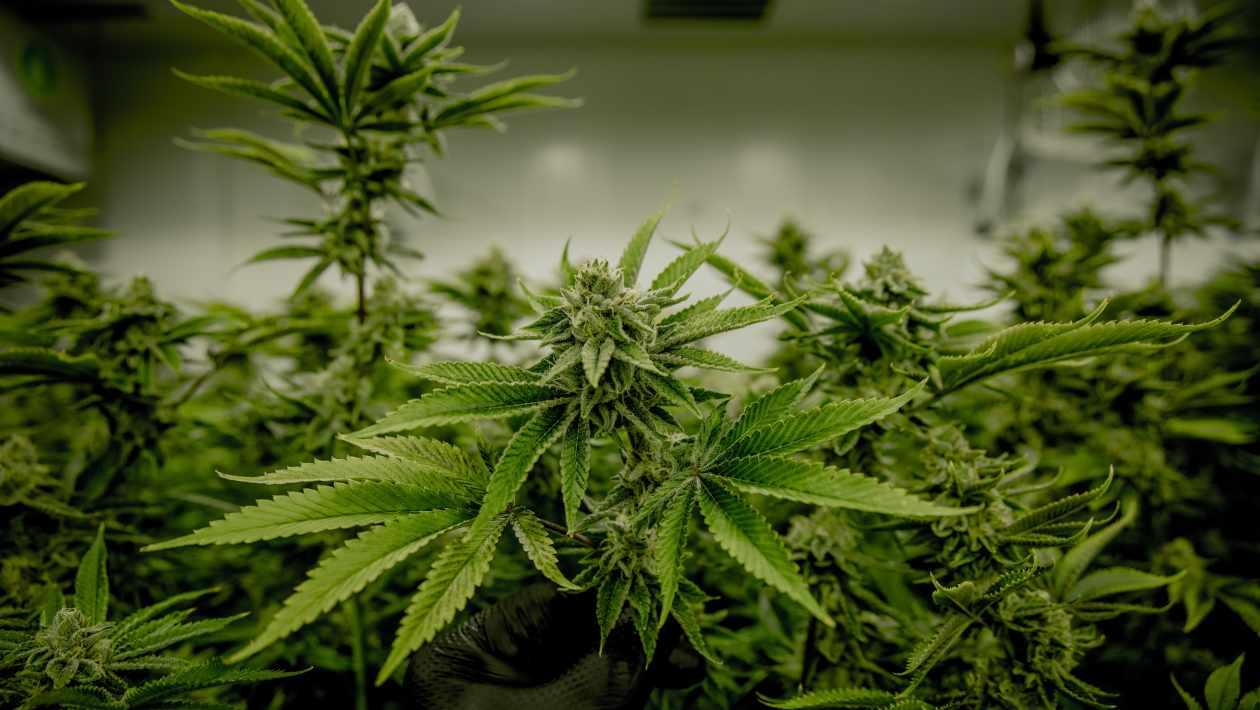 legal marijuana in US